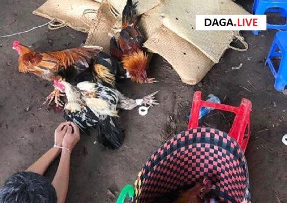 Tang vật thu giữ gồm gà, cựa, băng dính,...