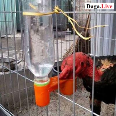 Cho gà chọi uống nước theo giờ cố định