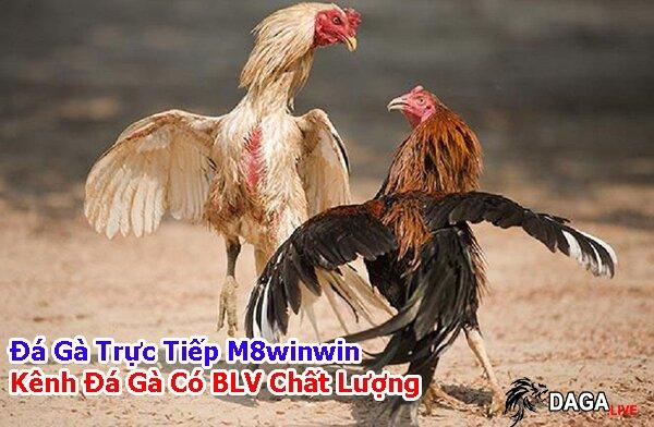 Đá gà trực tiếp m8winwin. kênh đá gà có blv chất lượng