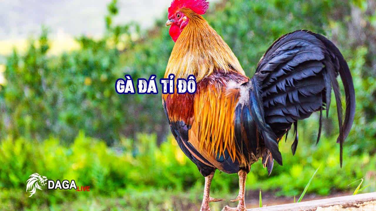 Gà Đá - Cơ Hội Cho Ngành Kinh Tế Tỷ USD của Việt Nam.