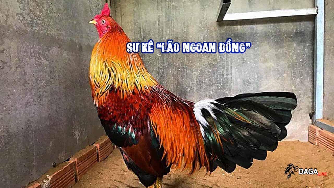 Kinh Nghiệm Nuôi Gà Của Lão Ngoan Đồng