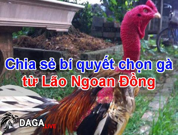 Chia sẻ bí quyết chọn gà từ Lão Ngoan Đồng