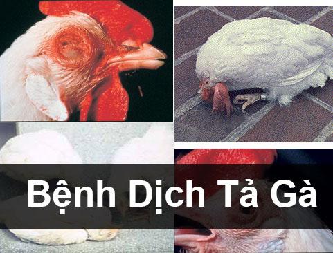 benh-dich-ta-cua-ga