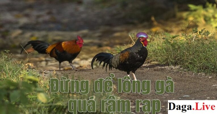 Không để lông quá rậm - Cách nuôi gà mùa nóng