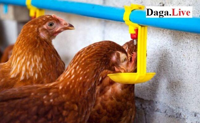 Cho gà ăn gì - Cách nuôi gà mùa nóng
