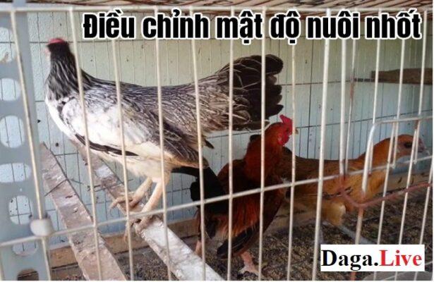 Điều chỉnh mật độ nuôi nhốt - Cách nuôi gà mùa nóng