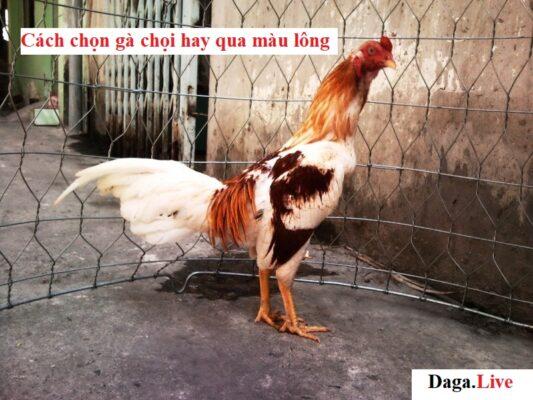 Cách chọn gà chọi hay qua màu lông