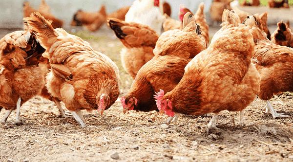 trị dứt điểm bệnh dịch tả gà