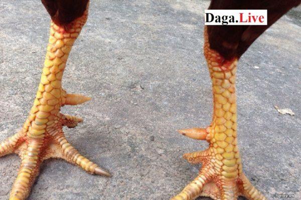 Các loại vảy chân gà chọi