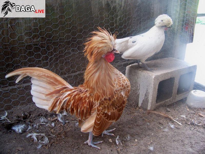 gà Ba Lan