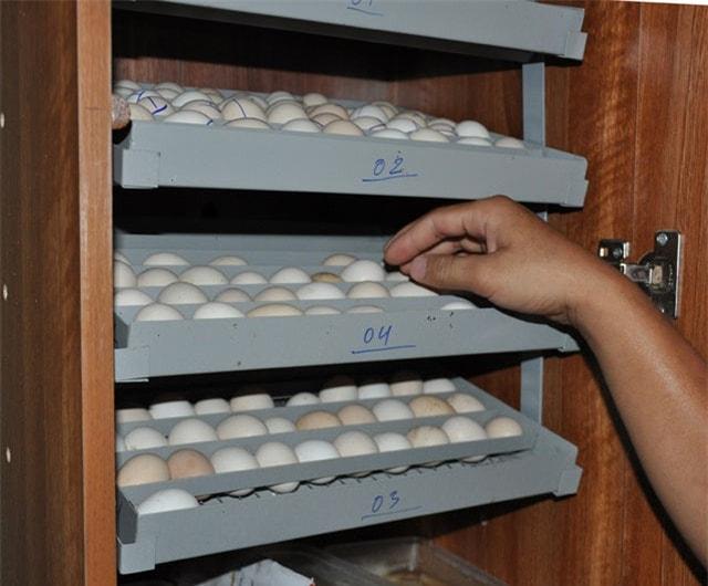 ấp trứng gà tre tân châu