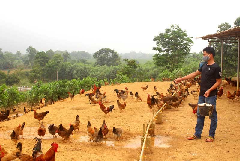Giá gà hơi giảm mạnh mùa dịch Covid19