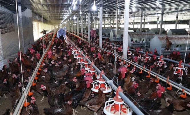 giá gà thịt giảm mạnh tại trà vinh