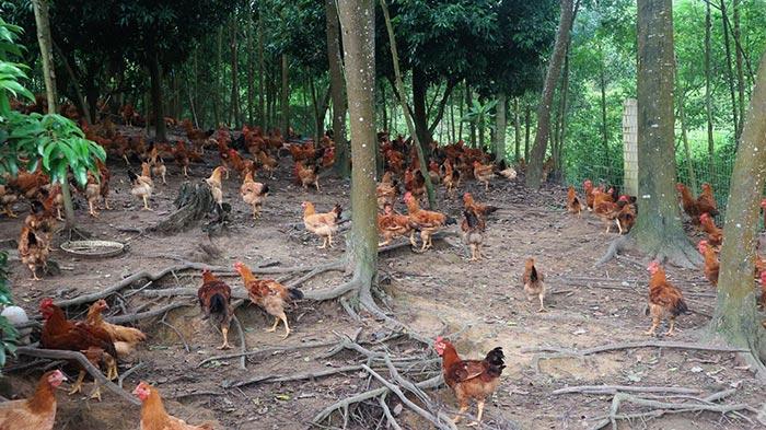 nuôi gà thả đồi